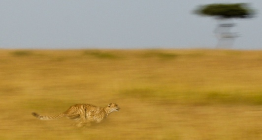 Cheetah in flight