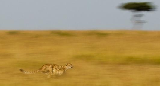 Cheetah in flight